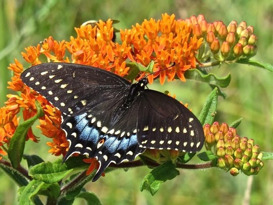New Jersey's official State Butterfly, the Black Swallowtail.