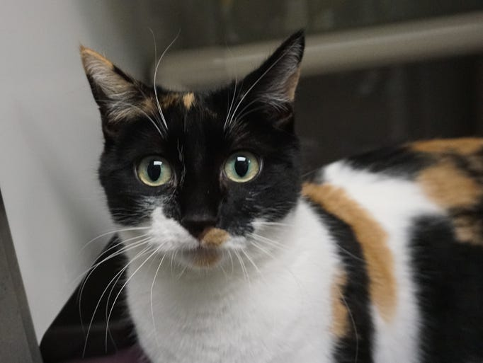 Andrea is a stunning, 2-year-old calico cat. She is