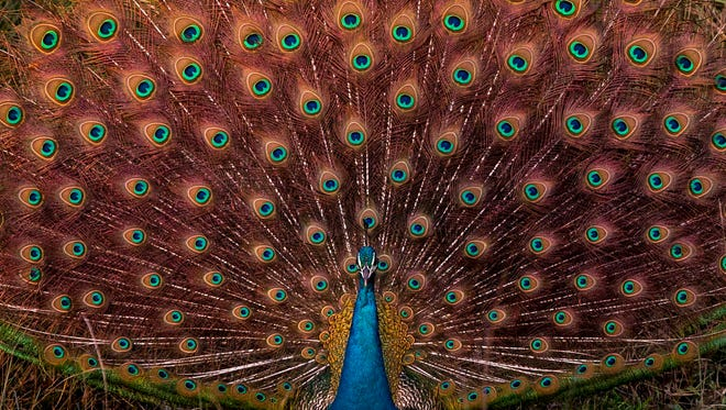 A peacock spreads its feathers at Chitwan National Park, in Chitwan district, Nepal, Dec. 25, 2017.