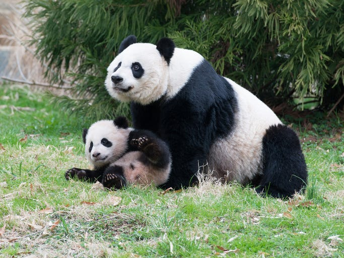 Three giant pandas make their home at the Smithsonian's National Zoo in Washington, D.C.