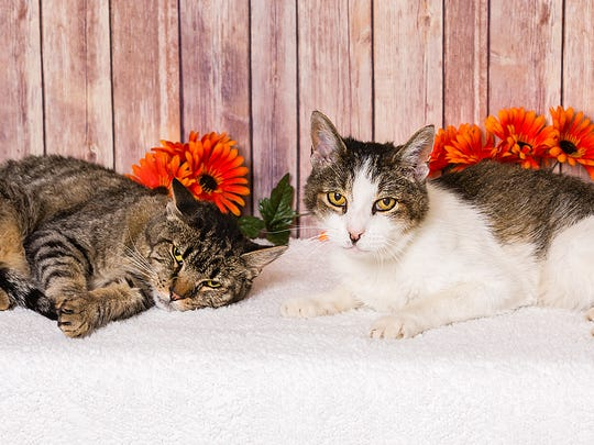 Kisses and Papa Cat are gentle souls, a bit on the shy side, but nonetheless affectionate and faithful. They're seniors, arrived together and are seeking a family together! Meet them at our Reno shelter today!