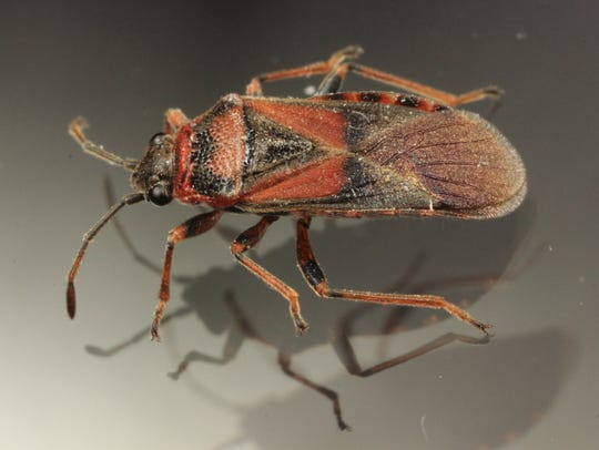 The Elm Seed Bug, an invasive species that Mark Vanderwerp
