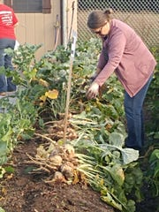 Debbie Moellendorf, 4-H youth development educator and Lincoln County University of Wisconsin-Extension department head, harvests vegetables from the Tall Pines Community Garden.