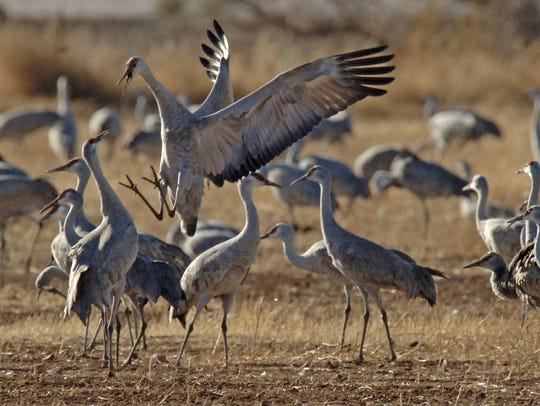 Sandhill cranes are shown in this undated photo. Game