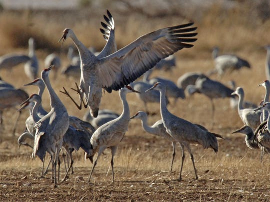Sandhill cranes are shown in this undated photo. Game and Fish offers a book and website encouraging Arizona residents and visitors to seek out watchable wildlife.