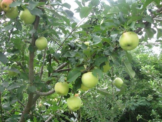 Dorsett-Golden-Apples.jpg