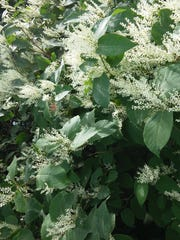 Introduced to North America as an ornamental plant, Japanese knotweed is now a hard-to-kill invasive species. It blooms small, creamy white flowers in late August and early September in Michigan.