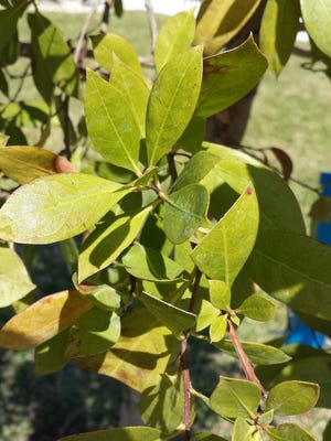 A reader wants help identifying this tree which has elliptical shaped leaves with pinnate veining. Morphology, identifying plants based mostly on flowers and leaves, has been used for centuries. It still is a reliable method for basic plant identification.