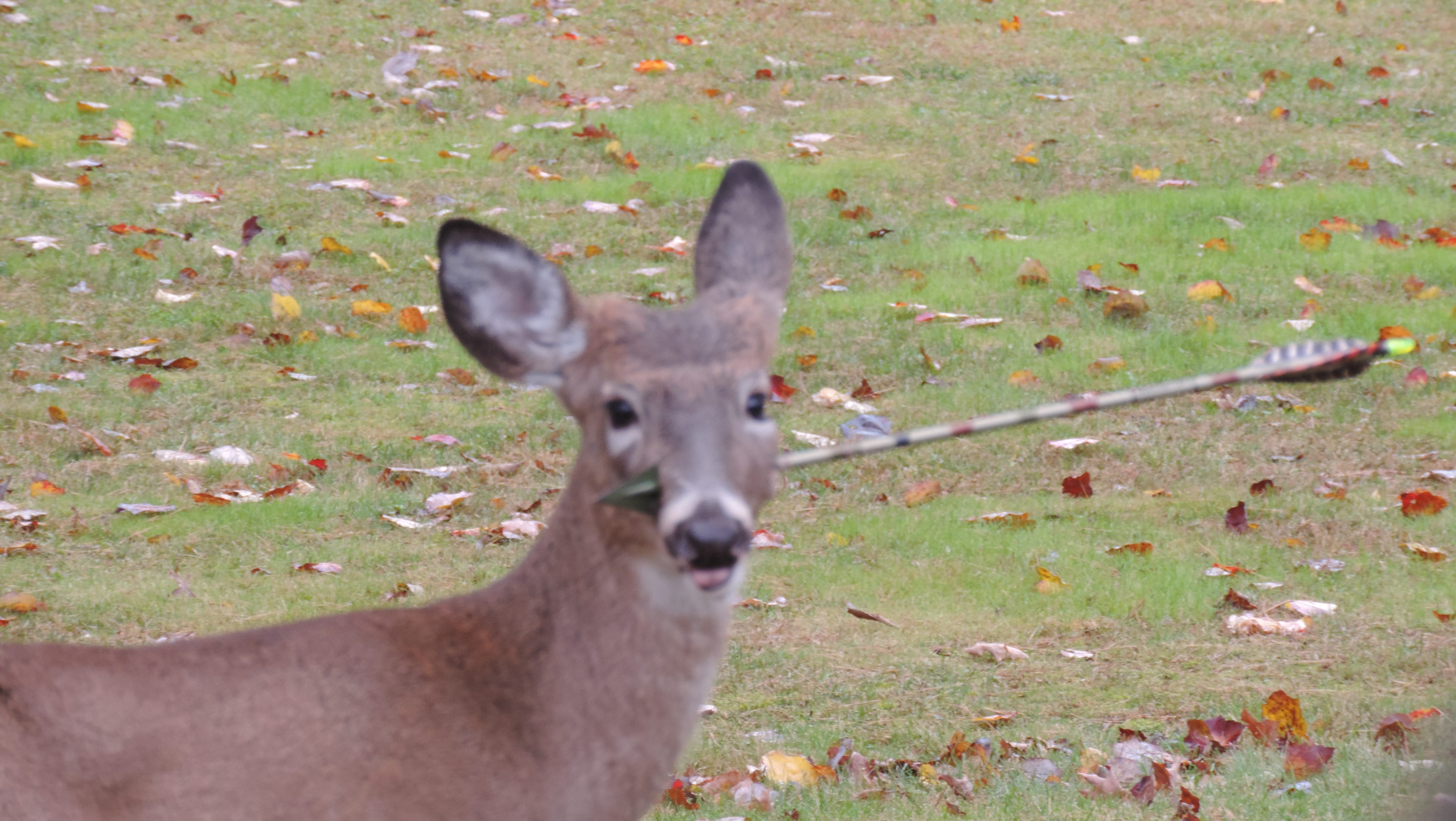 young deer on mend after arrow removed from face
