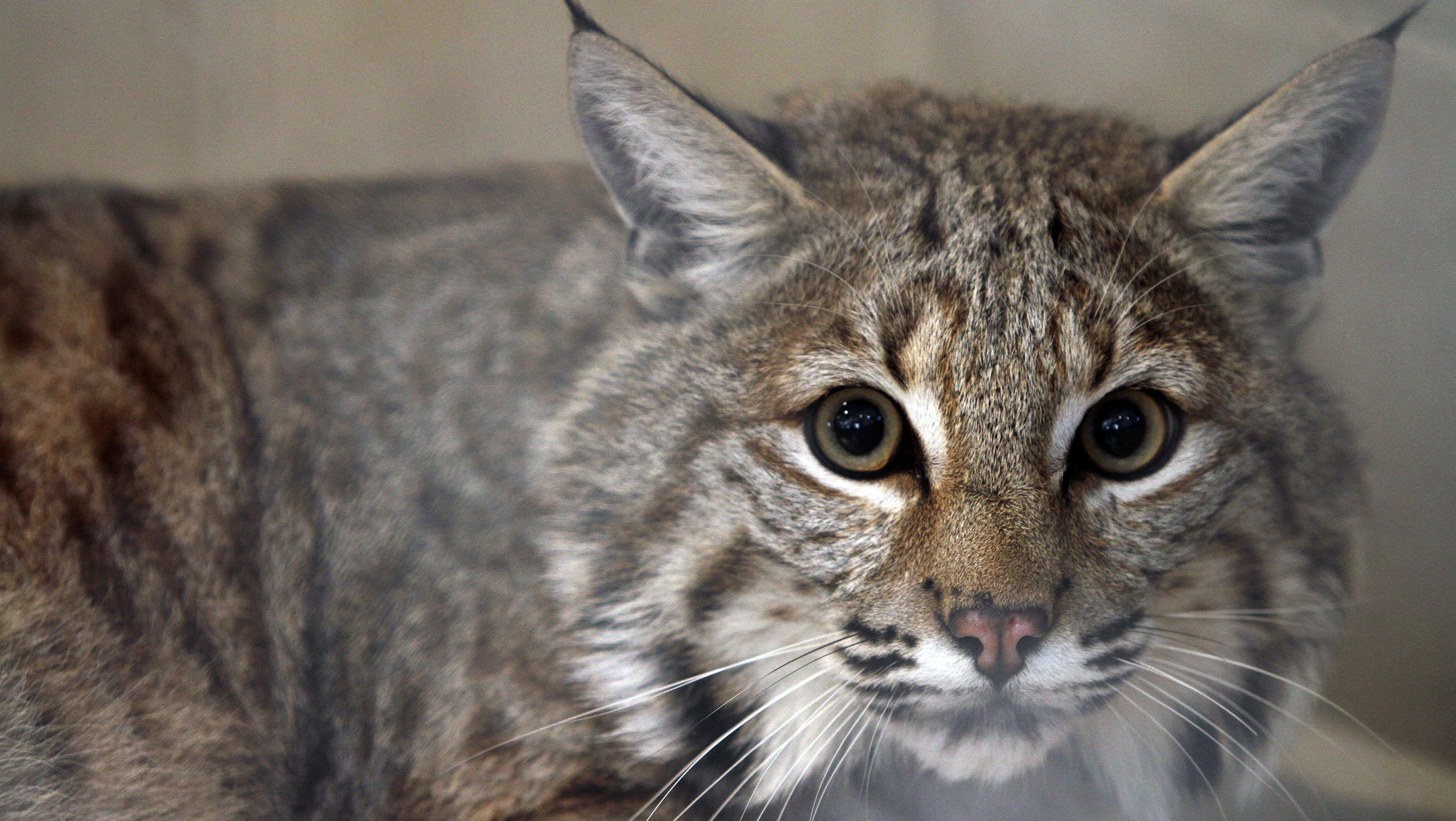 For Now Rocky S Just A Big Cat Not Bobcat Can Go Home