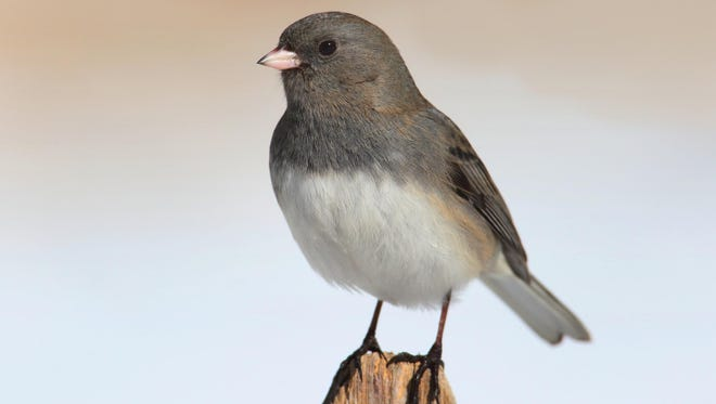The dark-eyed junco (also known as the snow bird) tends to show up in October.