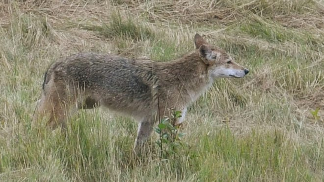 Summit County Metro Parks naturalist Janean will lead a live question-and-answer sessionabout coyotes and will discuss how they live and how we can be good neighbors to these fascinating creatures of the night. [USA TODAY NETWORK file photo]