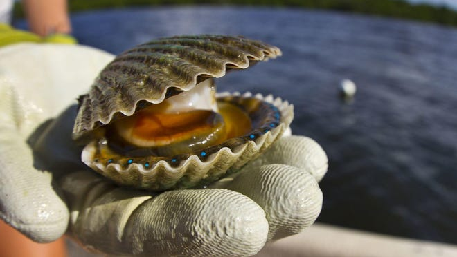 Florida wildlife commissioners approved a month-long scallop season in Gulf County, which has been ravaged by red tide over the past few years.