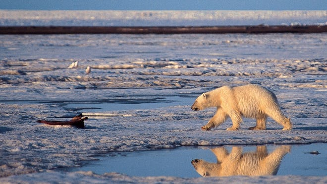 A polar bear walks in the Arctic National Wildlife Refuge. Because of ongoing and potential loss of their sea ice habitat resulting from climate change, polar bears were listed as a threatened species in the U.S., across their range, under the Endangered Species Act in May 2008.