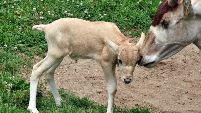 A male Saharan addax calf was born June 14 at the Louisville Zoo.
