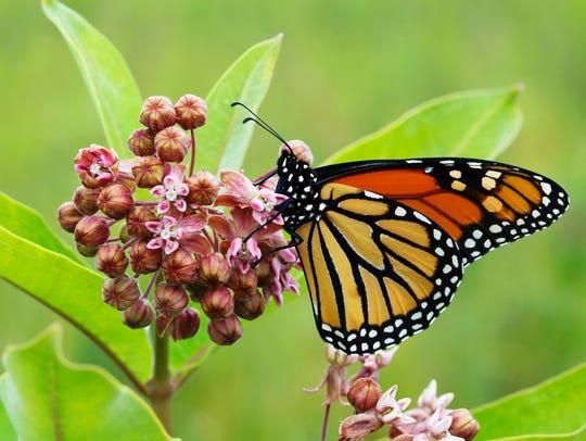 Monarch butterfly lands on a flower.