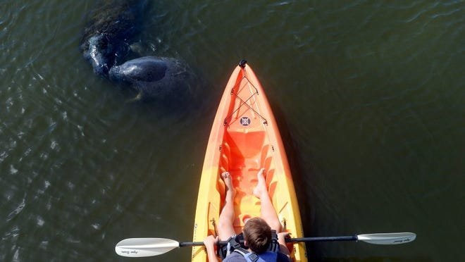 Andrew Yamasaki looks on as two manatees come to the surface for air in front of his kayak at Round Island Riverside Park in Indian River County. Yamasaki and his family were here on vacation from New Jersey last year. 'The strange thing is that a lot of people don't even know this park exists,' said Steve Cox, owner and operator of Adventure Kayaking & Paddleboard Tours in Vero Beach.