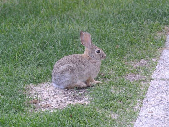 Fencing your garden and using row covers can protect your garden from cottontail rabbits and other pests.