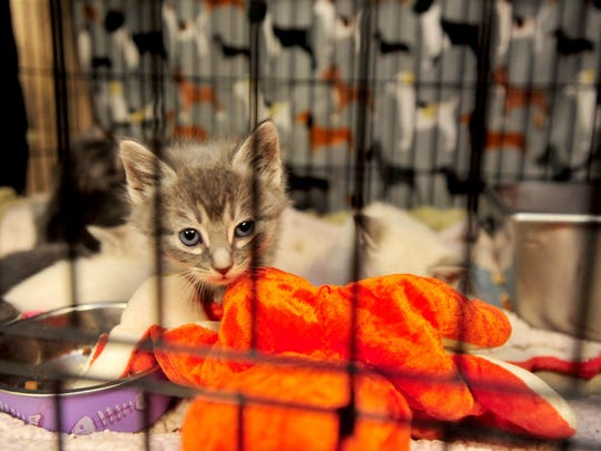 The Great Falls Animal Shelter currently is housing 150 cats and kittens, which is more than double its capacity of 65 cats. There are so many cats at the shelter that it's run out of room in the designated feline kennels and are keeping cats in the shelter's lobby and office areas.