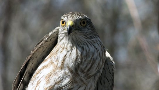 A Sharp-shinned hawk observed near the Lake Ontario