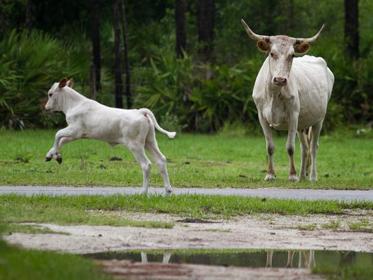 Cattle roam some of the open pastures throughout the