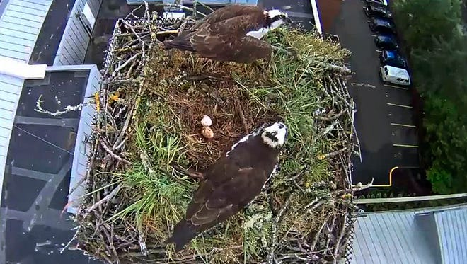 In this image taken from video from the Dean Margie Paris Ospreycam, University of Oregon School of Law, a pair of osprey guard their nest with eggs on top of the University of Oregon Law School in Eugene, Ore. (University of Oregon School of Law via AP)