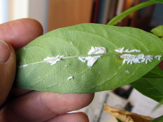 Gardening-Scale Insects