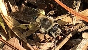 If miner bees inhabit your yard, consider yourself lucky, as they are very docile and excellent early spring pollinators.