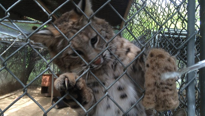After two years of care at the Southwest Wildlife Conservation Center, Spot is one of two bobcats headed to a new home at Zoo Miami in Florida.