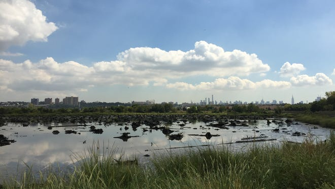 Atlantic white cedar stumps can be seen at low tide along the Mill Creek Marsh Trail in Secaucus.