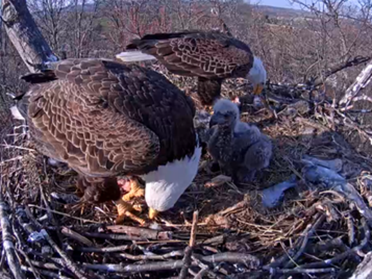 A Hanover-area pair of bald eagles stay busy feeding their two eaglets.