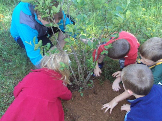 4K students Kayleigh, Tanner, Aiden and Brennen plant an acromion cherry bush.