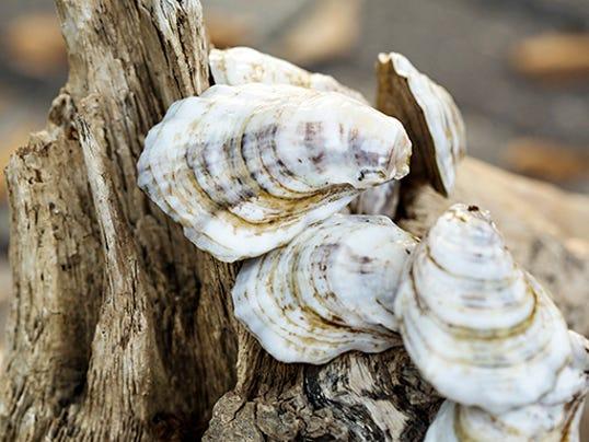 636210448453026149-Pensacola-Bay-oysters.jpg