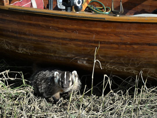 A badger steps from the shade provided by Patrick Durkin's cedar boat.
