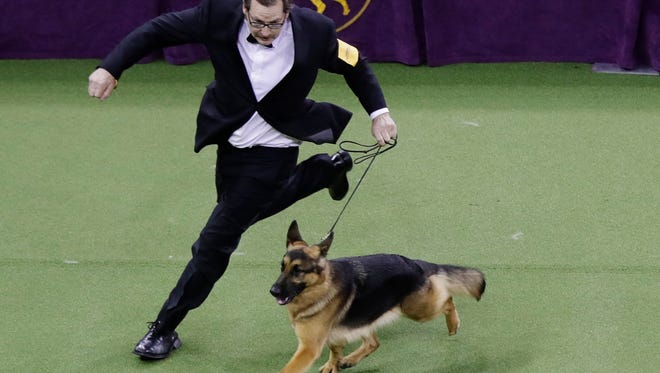 A handler guides Rumor, a German shepherd who later won Best in Show, at the 141st Westminster Kennel Club Dog Show in New York.