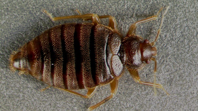 The tropical bed bug is back after 60 years, and it's landed in Brevard, Fl.