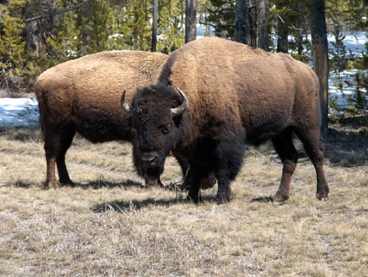 Feds Consider Sending Bison To Grand Canyon