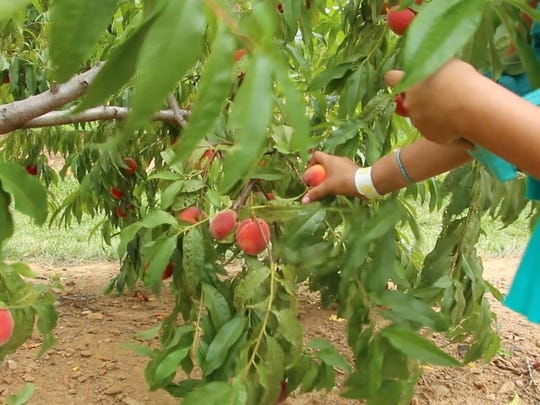 Visitors pick peaches in the 'Pick Your Own' orchards at Alstede Farms.