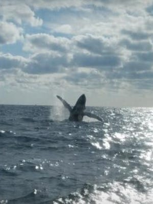 Passengers aboard Mattanza Charters out of Pirates Cove Resort and Marina in Port Salerno saw a breaching humpback whale Sunday, Dec. 17, 2017.