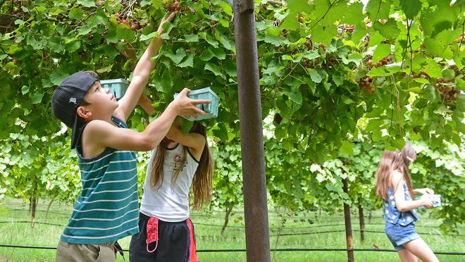 Max Mirando, 6, from left, picks grapes at Post Familie Vineyard along with his twin sisters, Amelia and Sophia, 9, on Friday, Sept. 25 in Altus. The children were at the vineyard with their mother, Amber. Joseph Post said they had a bumper crop this year and they decided to open up to the public for the first time before the harvest. Pick your own at Post will be this weekend and the following Thursday through Sunday from 1 to 4 p.m. Post said that it may continue longer depending on weather. The vineyard is located east of Arkansas State Hwy 186 on Fair Haven Road in Altus.