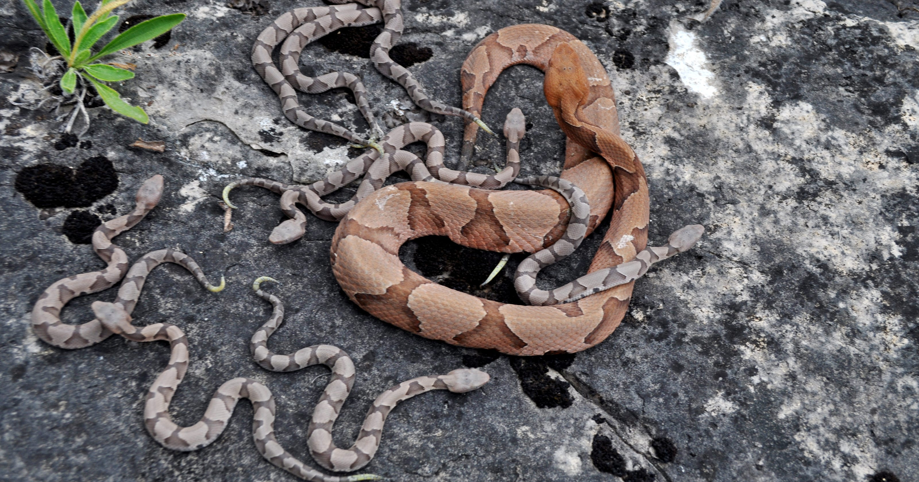 636286392204998500-MDC-Copperhead-and-young-2016.jpg?width=3200&height=1680&fit=crop.jpg