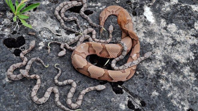 A venomous copperhead, with a half-dozen babies.