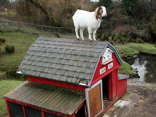 Jill-The-Goat-03.JPG