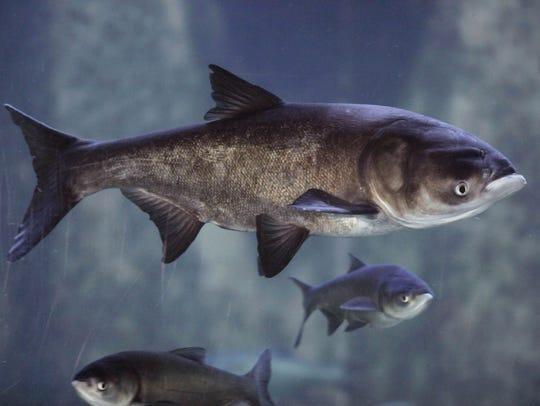 Bighead carp are on display at the Shedd Aquarium in