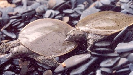 Spiny softshell turtles bask on a cobble beach along Lake Champlain in this undated photo.