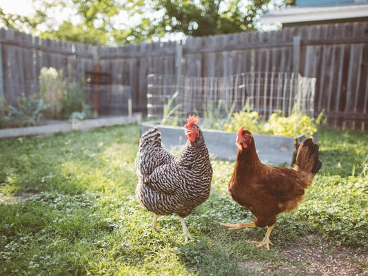 Two Chickens in a Backyard