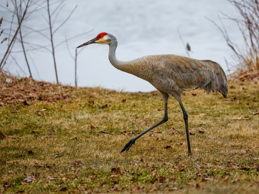Sandhill Crane (grus canadensis) by the lakeshore.