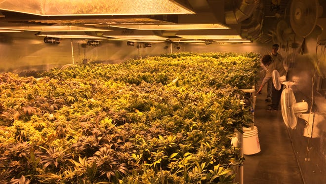 Marijuana plants growing indoors under grow lights at the Medicine Man legal marijuana grow facility in Denver as seen in January 2014. Ham radio enthusiasts say certain kinds of marijuana grow lights can throw off interference that disrupts their federally protected transmissions. A ham radio group has formally complained to the FCC over the interference.