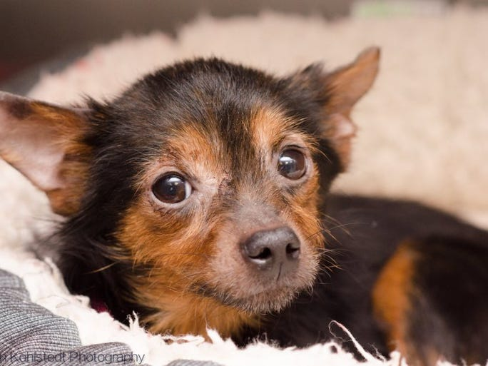 Kamilla is an 8-year-old spayed Chihuahua mix who is very sweet and loves to snuggle. She is available at the Humane Society of the Tennessee Valley. For more information, call 865-573-9675.