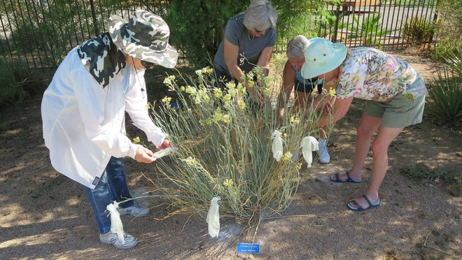 A group gathers desert milkweeds seeds collected in bags.